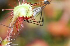 Mücke auf Sonnentau