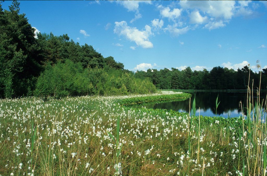 Wollgrassblüte am Großen Moorsee